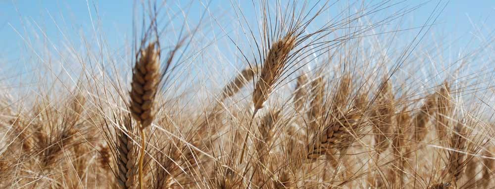 Bester Hartweizen von den Dinkelhof Feldern für die selbst erzeugten Nudeln
